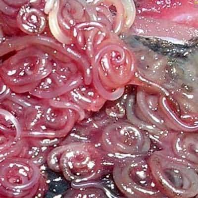 Pericolo Alimentare per il Rischio Anisakis
